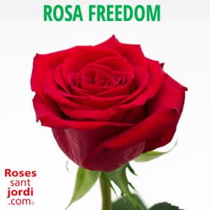 Majorista Rosa freedom